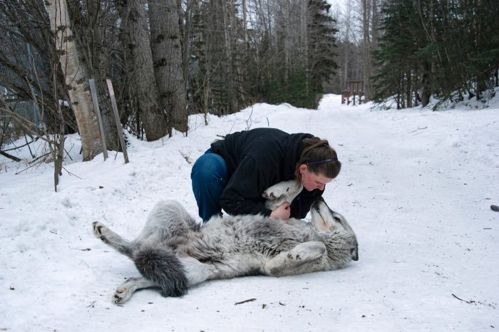 Photo: Shannon Jensen with gray wolves, (Canis lupus) at the Alaska Zoo.