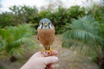 Photo: A hand-raised American kestrel (Falco sparverius) at the National Aviary of Colombia.