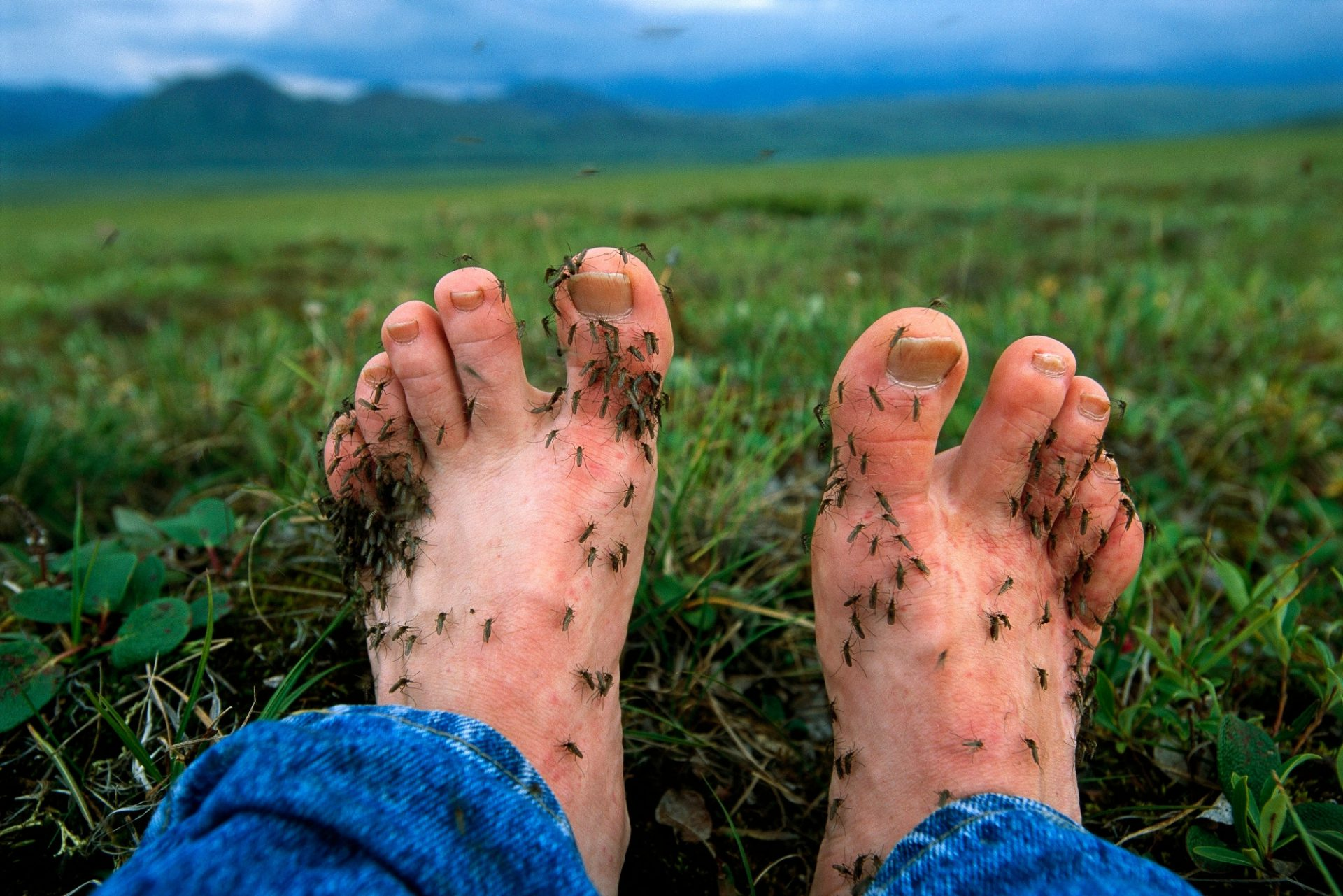 Photo: The feet of photographer Joel Sartore were covered in mosquitoes within five minutes of removing his boots.