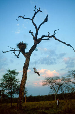 Photo: Assistant Daniel De Granville climbs to a tree platform next to a jabiru stork nest in Brazil's Pantanal.