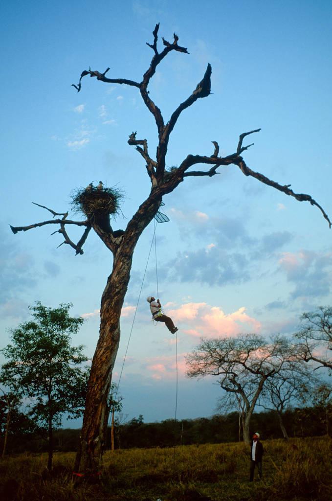 Photo: Assistant Daniel De Granville climbs to a tree platform next to a jabiru stork nest in Brazil's Pantanal.