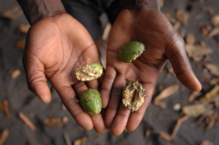 Photo: An expedition guide holds fruit that been chewed by mammals on Bioko Island, Equatorial Guinea.