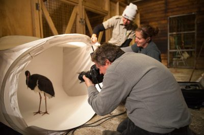 Two zookeepers assist a photographer with a black stork (Ciconia nigra) at the Fort Wayne Zoo.