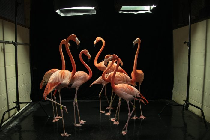 Photo: Behind the scenes look at a National Geographic Photo Ark shoot of American flamingos (Phoenicopterus ruber) at the Lincoln Children's Zoo in Lincoln, NE.