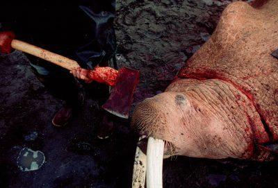 Photo: Natives hunt walrus on the Alaska coast at Togiak NWR.