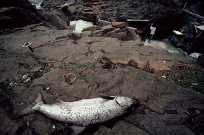 Photo: Salmon caught with dip-net fishing, a traditional Native American method, on the Klickitat River, a tributary of Columbia.