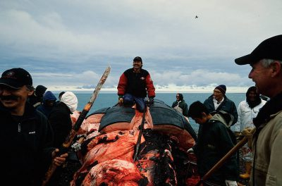 Photo: A dead bowhead whale lies on the beach in Kaktovik.