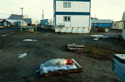 Photo: A freshly killed spotted seal awaits butchering in downtownBarrow.