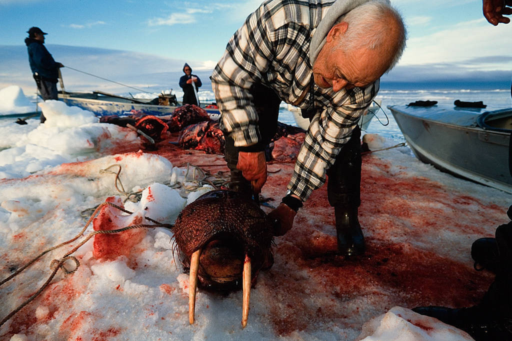 Photo: An elder from the village of Barrow butchers a young walruson an ice flow near Barrow.
