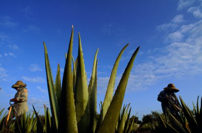 Photo: An aloe plant in an aloe field, where many of the workers are resident aliens, Mexican citizens with green cards allowing them to work in the United States.