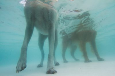 Photo: Dogs splash about on the last day a public swimming pool is open.
