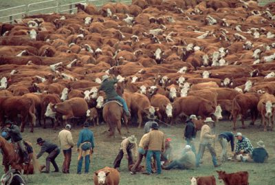 Photo: Cattle are penned for branding at a ranch in the Nebraska Sandhills.