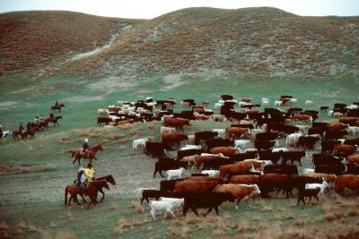 Photo: Cattle are rounded up for branding at a ranch in the Nebraska Sandhills.