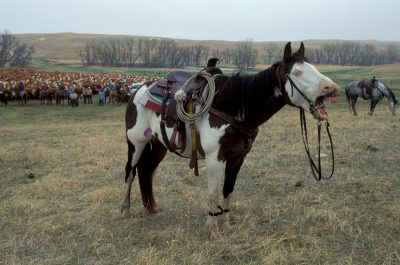 Photo: A horse whinnies at the camera on a ranch in the Nebraska Sandhills.