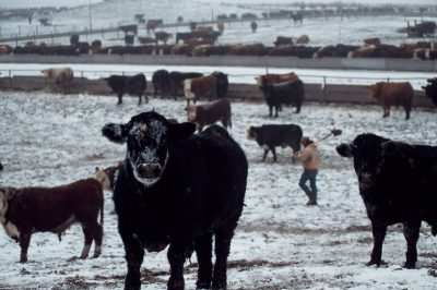 Photo: Workers and cattle brave sub-freezing weather at a feedlot near Springfield, Nebraska.