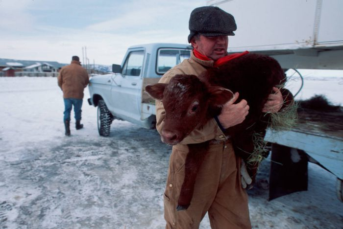 Photo: Bill Flournoy carries a calf to his truck -- he'll leave it there for a while to keep it warm.