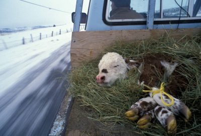 Photo: This calf is being taken back out to the field for reintroduction to its herd.