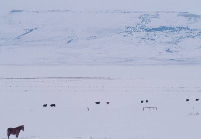 Photo: Livestock stand knee-deep in snow on a winter day near Cedarville, in Northern California.