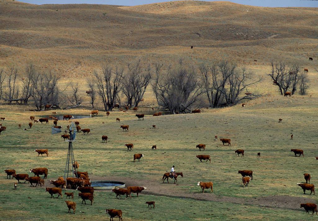 Photo: Cattle roundup in the Nebraska Sandhills.
