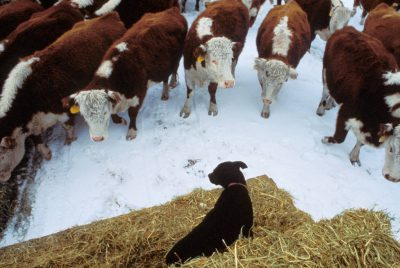 Photo: A cattle dog watches hungry livestock from atop bales of hay at a Northern California ranch.