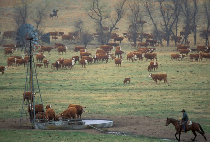 Photo: Cattle are gathered for branding at a ranch in the Nebraska Sandhills.