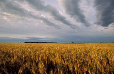 Photo: Wheat ready for harvest on the Fenton farm near Greenleaf, Kansas.