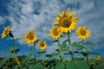 Photo: Sunflowers on a partly cloudy day in Kansas.