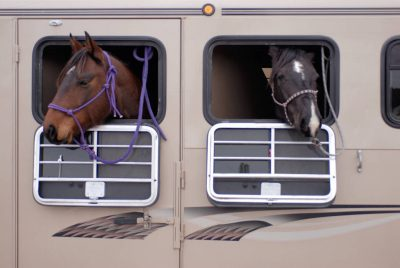 Photo: Two horses owned by Tyson and Rachel Cox poke their heads out of a horse trailer.