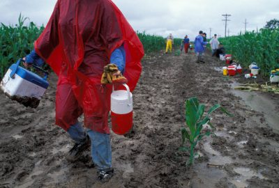 Photo: Detassling crews put in long, tough days during the summer -- rain doesn't stop this crew near Central City, NE.