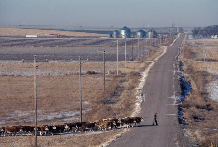 Photo: Cattle are led across a road to feed on a farm near Bethune, CO.