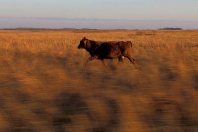 Photo: A cow moving through a pasture in Texas.