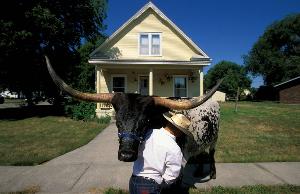 Photo: A young livestock proprietor struggles with a longhorn after a parade in Burwell, NE.