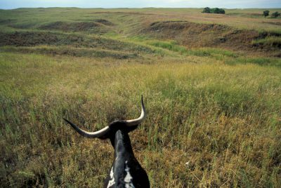 Photo: Longhorn cattle drive at Ft. Niobrara NWR near Valentine, NE.