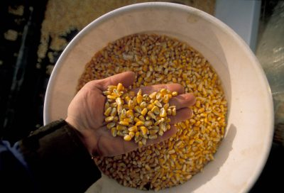 Photo: A bucket of recently-harvested corn from a Nebraska farm.