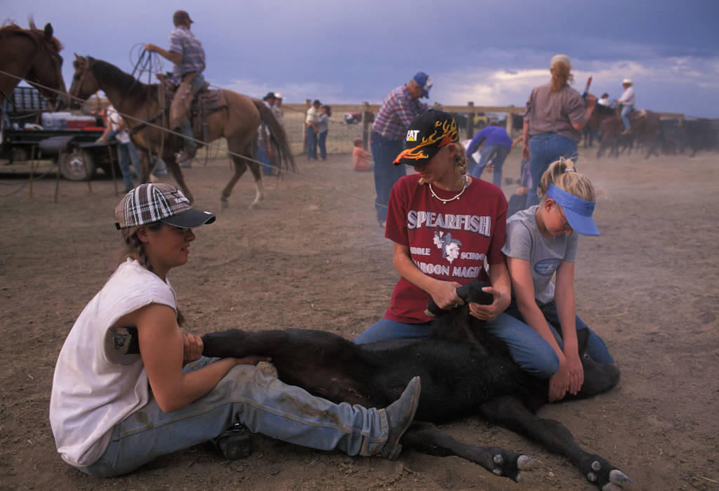 Photo: A branding of cattle in Gillette, Wyoming, where the branding is considered a social event.