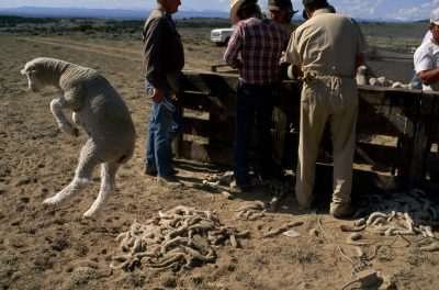 Photo: A lamb leaps up after being relieved of his tail for better sanitation purposes by Bureau of Land Management workers on federal grazing lands in southern Wyoming.