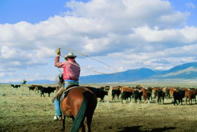 Photo: A rancher drives cattle fattened on public land to his employer's ranch in Lemhi County, Idaho.
