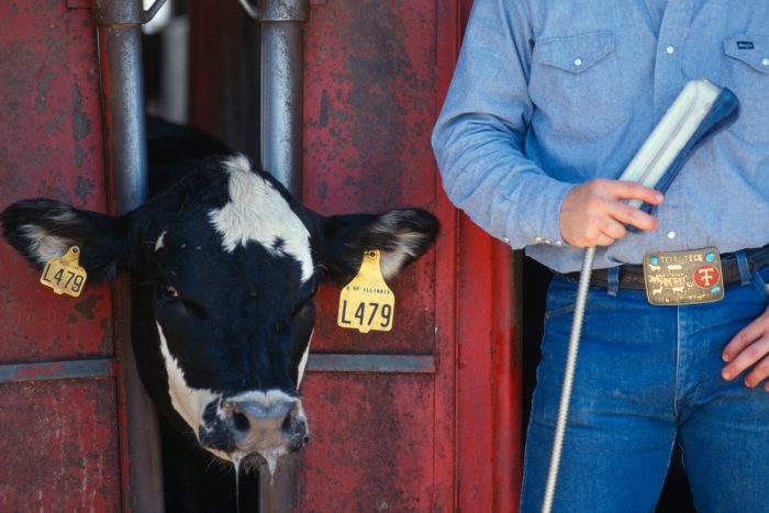 Photo: A farmer with an ultra-sound machine for cattle in Flatville, IL.