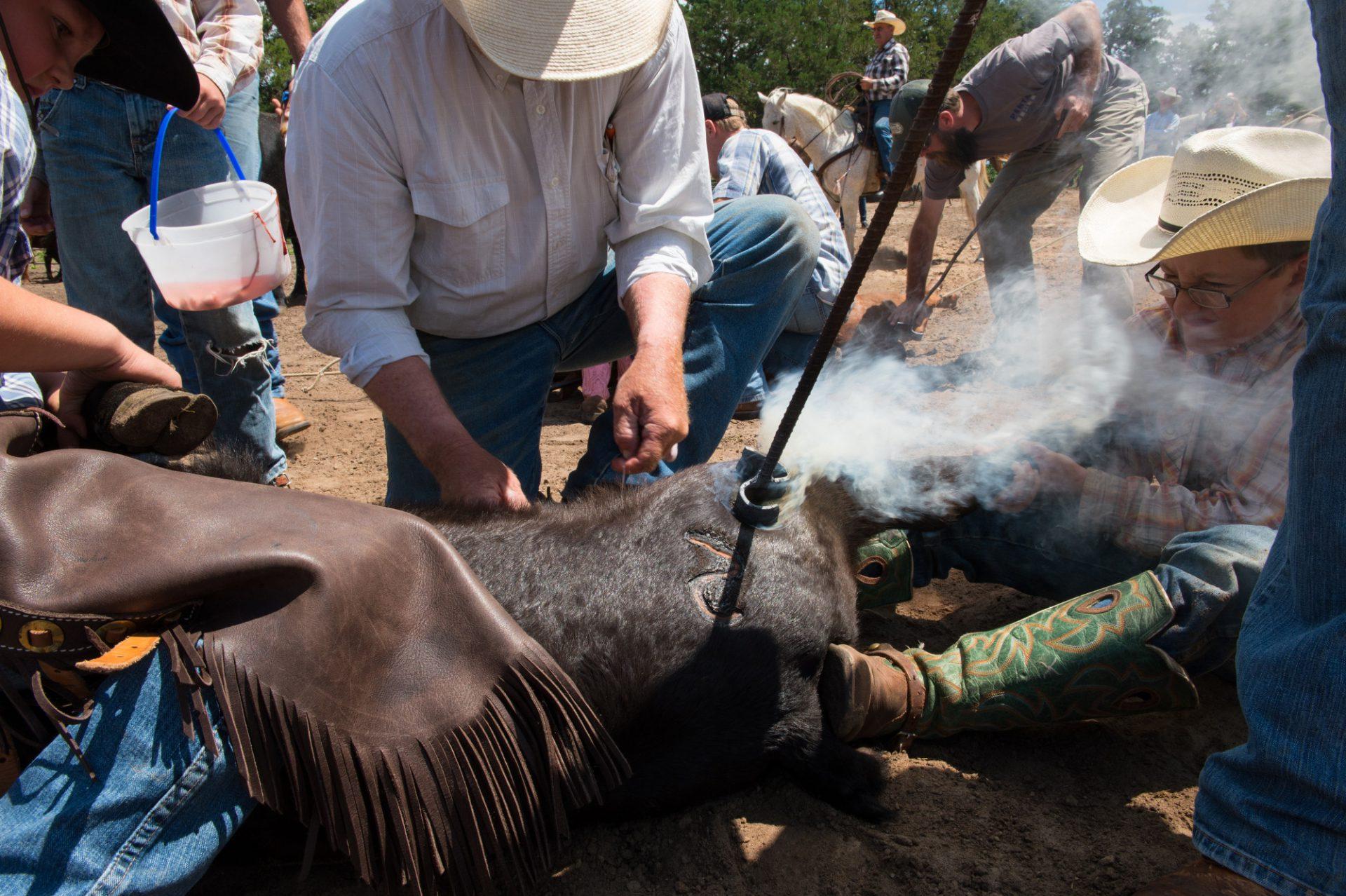 Photo: Branding cattle.