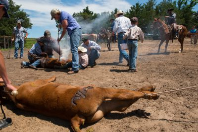 Photo: Branding cattle.