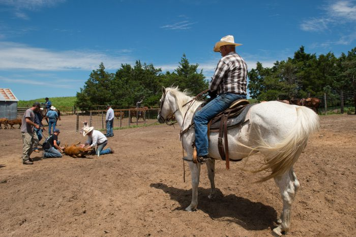 Photo: A man on a horse supervises cattle branding.