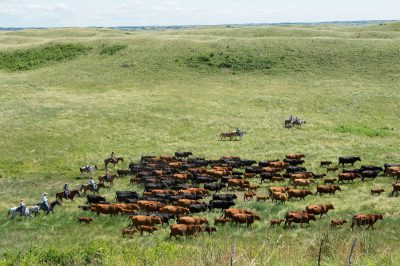 Photo: Ranchers on horseback, rounding up cattle.
