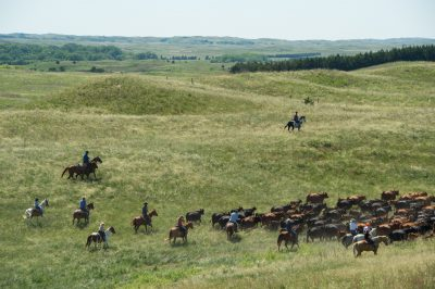 Photo: Ranchers on horseback rounding up cattle.