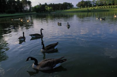 Photo: Canada geese in a pond at Pioneers Park in Lincoln, NE.