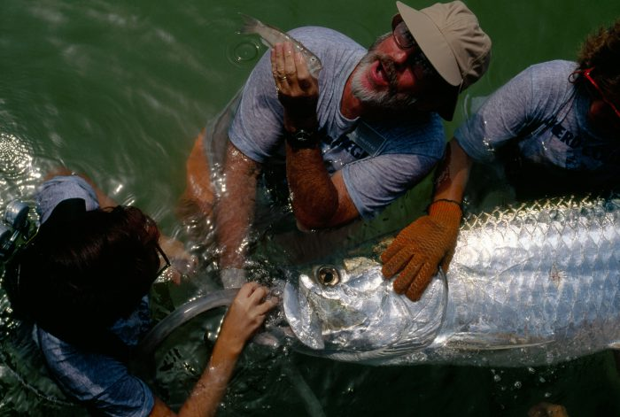 Photo: Volunteers give oxygen to a tarpon (Tarpon atlanticus) before releasing it at dockside in the Boca Grande tarpon fishing tournament, where the purse is $165 ,000.