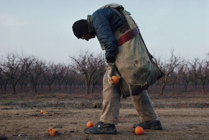 Photo: An elderly man gathers oranges in California's citrus growing belt.