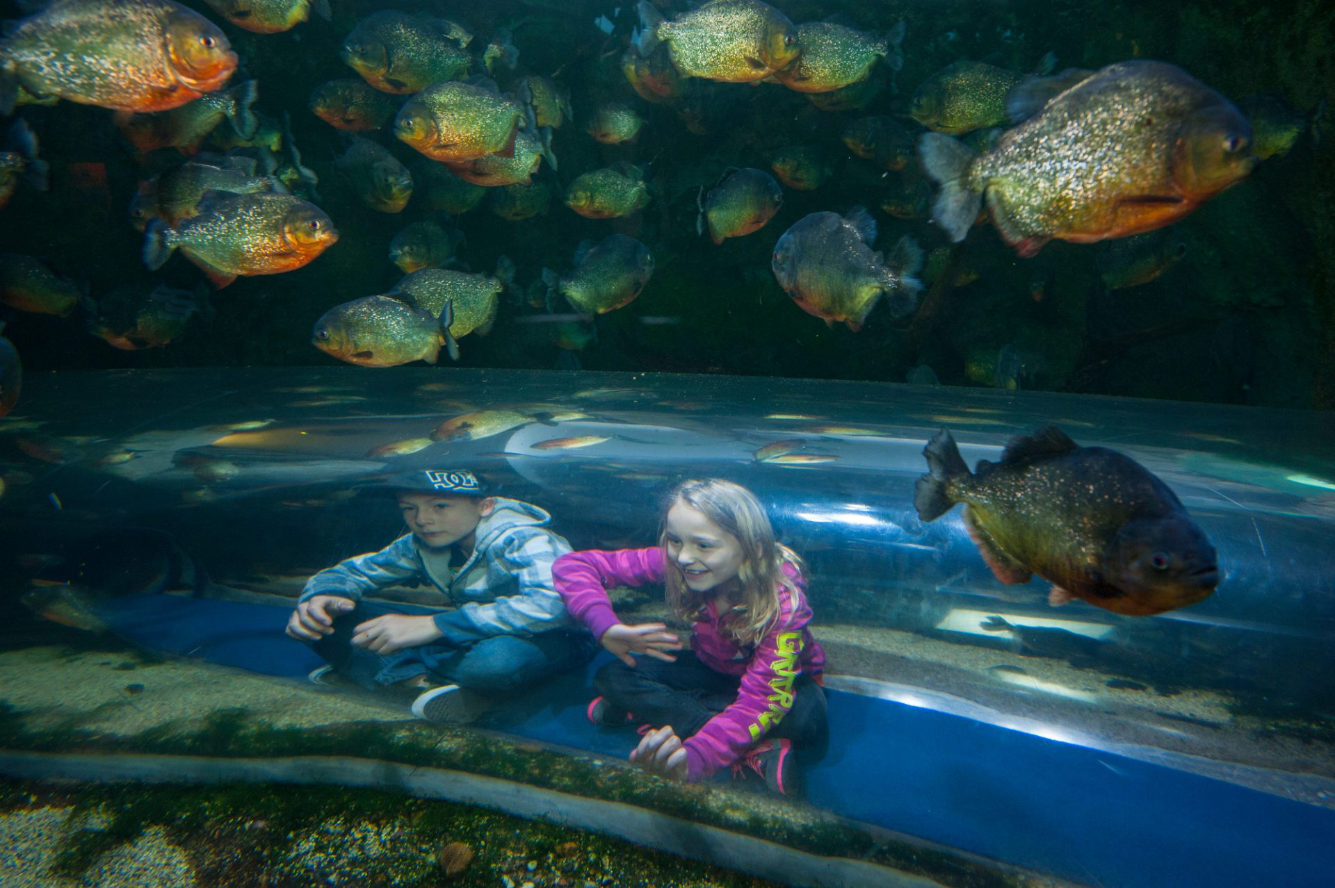 Photo: Red-bellied piranhas surround guests crawling through an underwater tunnel at the Houston Zoo.