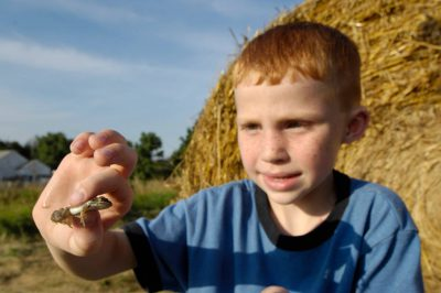 A young boy looks at a Plains leopard frog (Lithobates or Rana blairi) in front of a haybale in Greenleaf, Kansas.