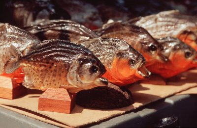 Photo: Red-bellied piranha are sold as souvenirs in Manaus, Brazilon the Amazon River.