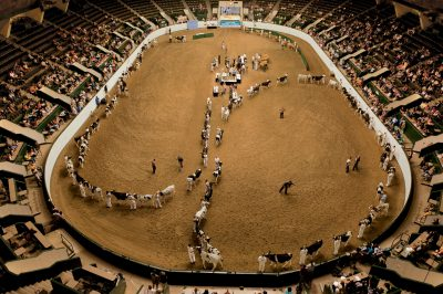 Photo: Cattle show at the coliseum at the Minnesota state fair.
